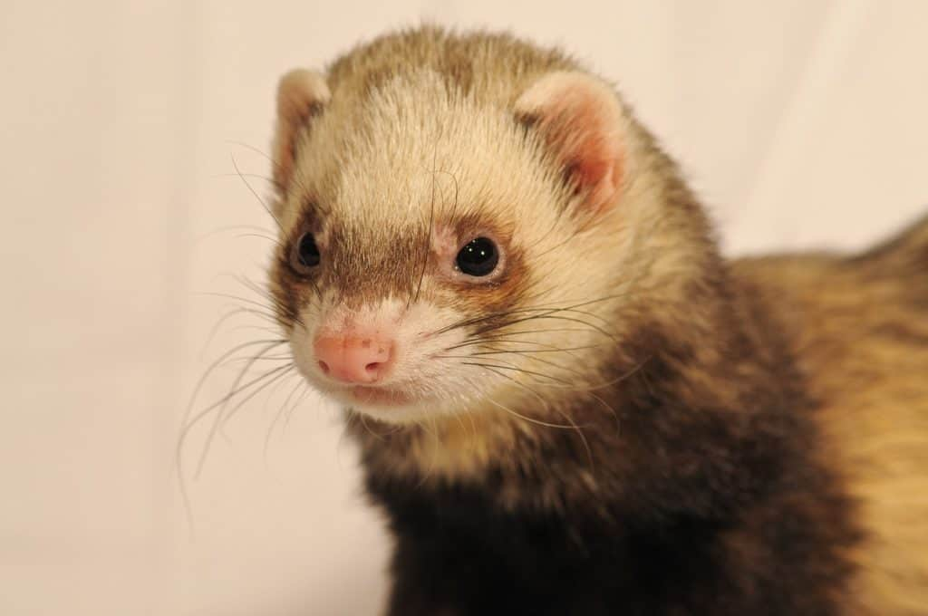 Ferret Diabetes Management