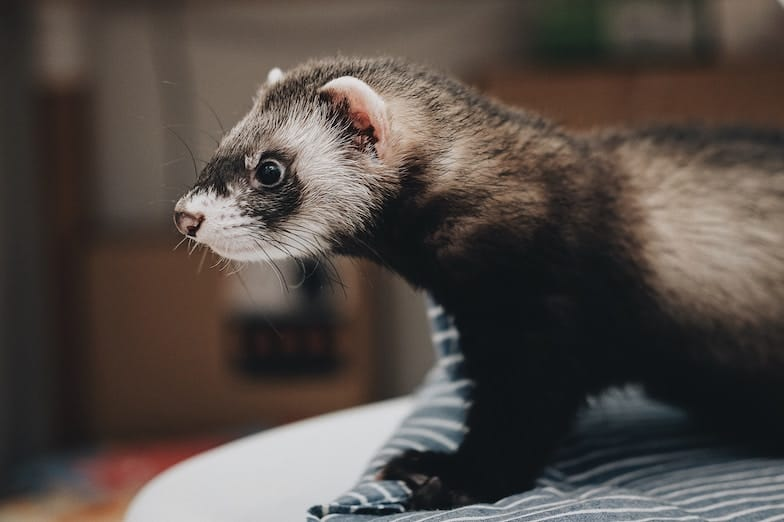 How to Stop a Ferret Who Likes to Bite?