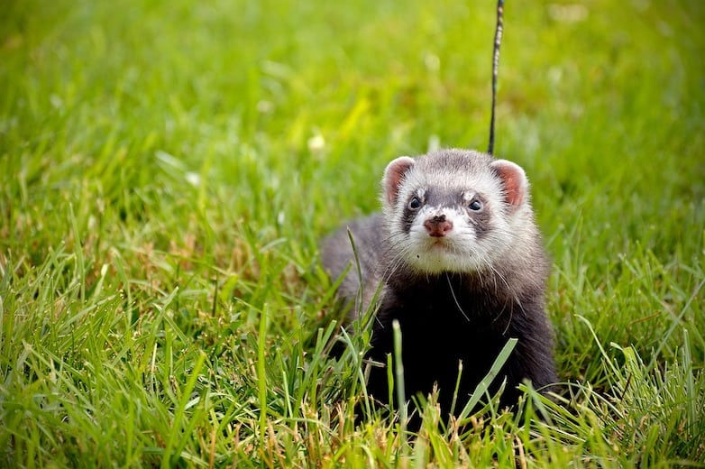 The Pros and Cons of Ferret Ownership