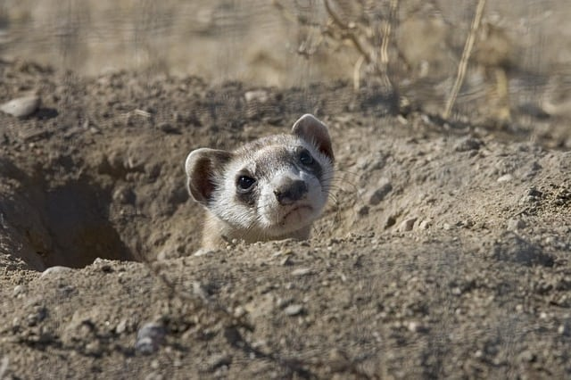 Picture of a Black-Footed Ferret